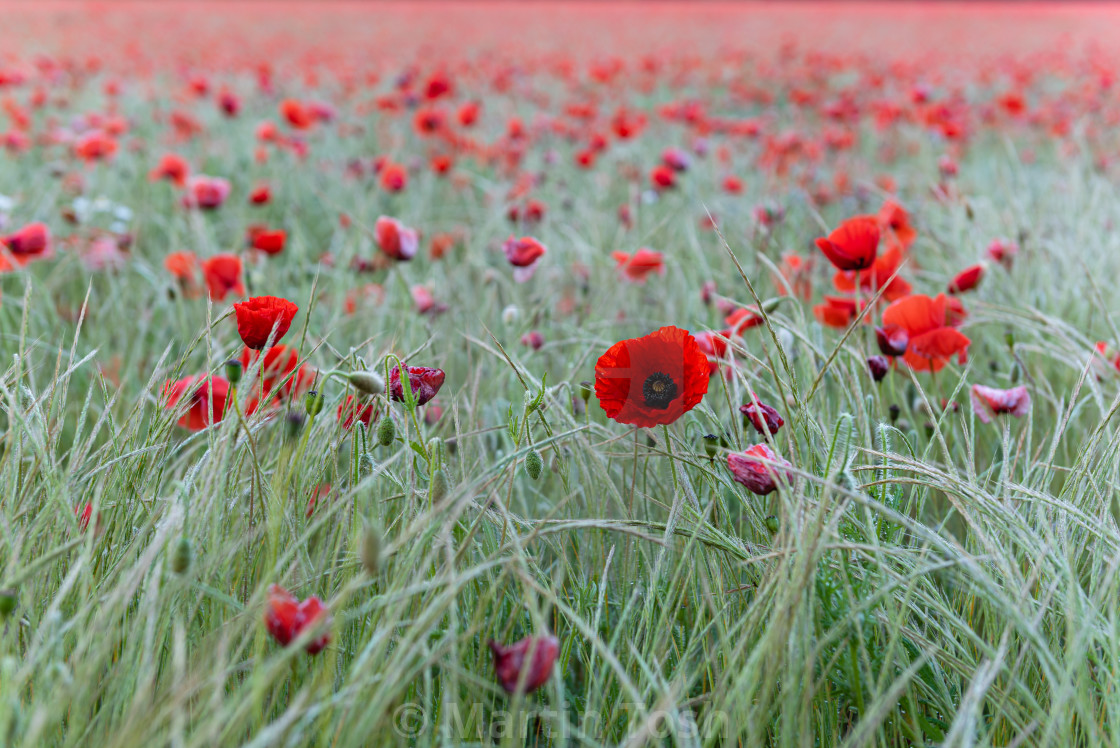 """""""Nofolk poppies and grasses"""" stock image"""