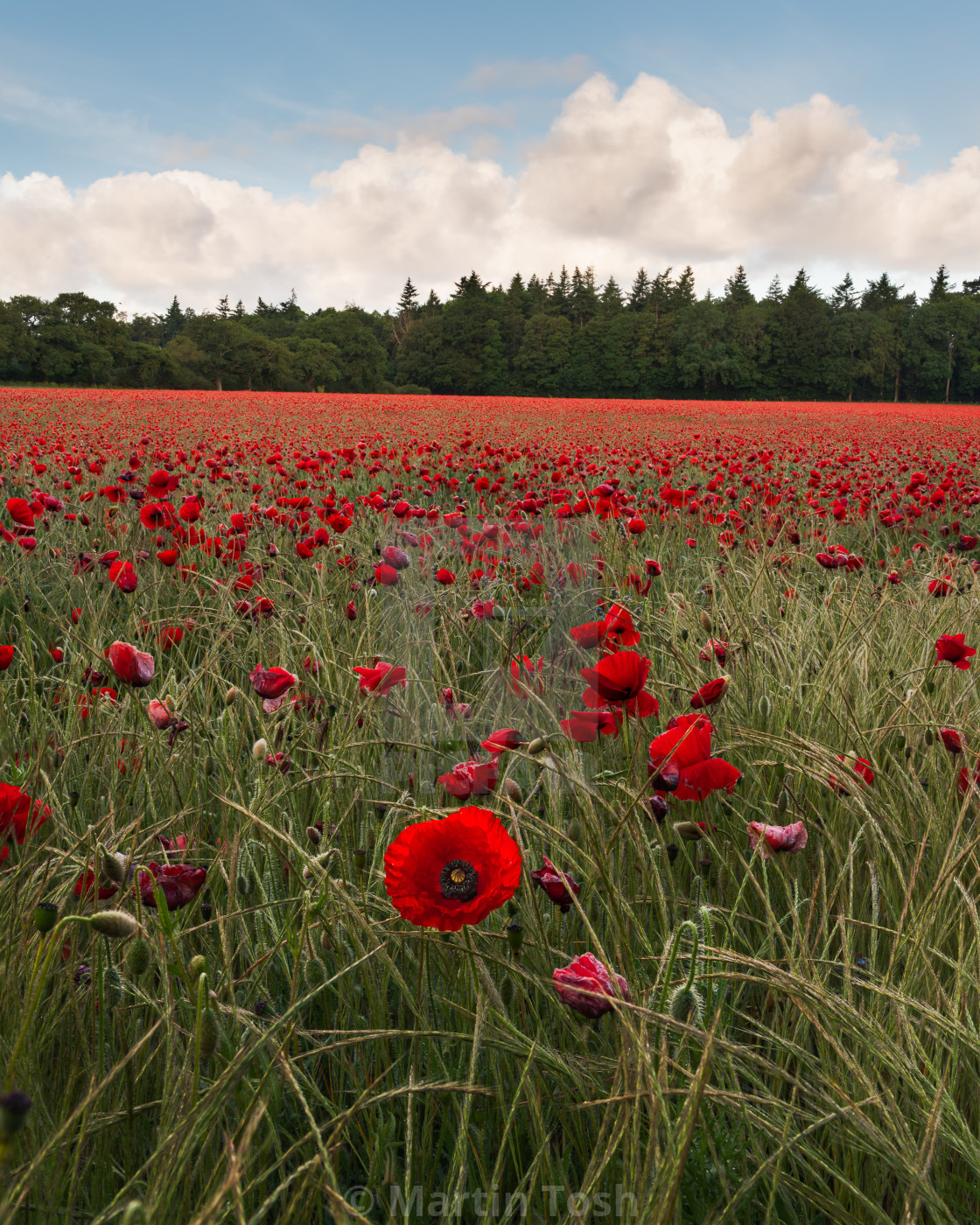 """""""Norolk poppy field and grasses with pine trees and cloudy blue s"""" stock image"""