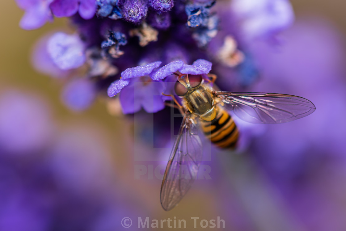 """""""Hoverfly feeding on blue flower."""" stock image"""