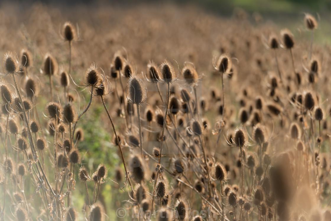 """Dipsacus fullonum. Field of backlit teasels."" stock image"
