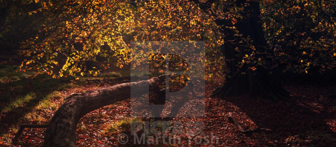 """Backlit autumn beech tree and fallen tree."" stock image"