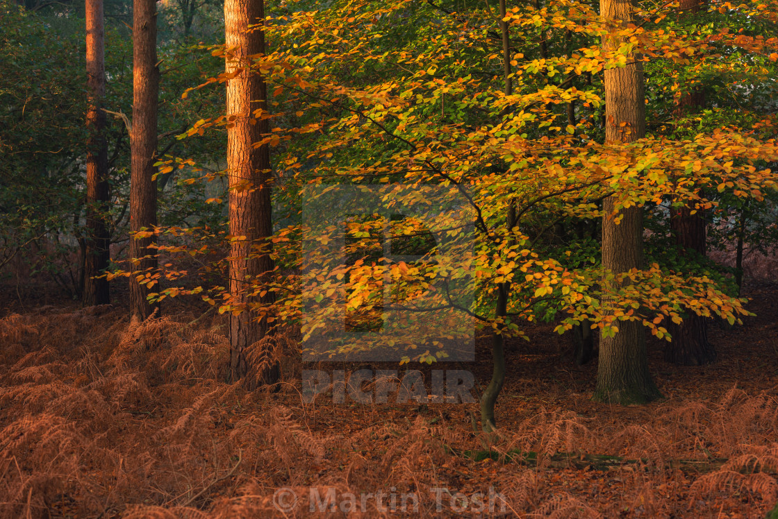 """""""Pine trees and beech trees with autumn leaves i."""" stock image"""