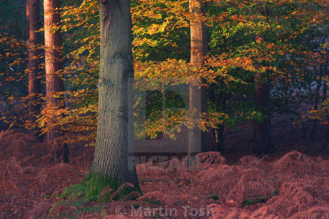 """""""Pine trees and beech trees with autumn leaves ii."""" stock image"""