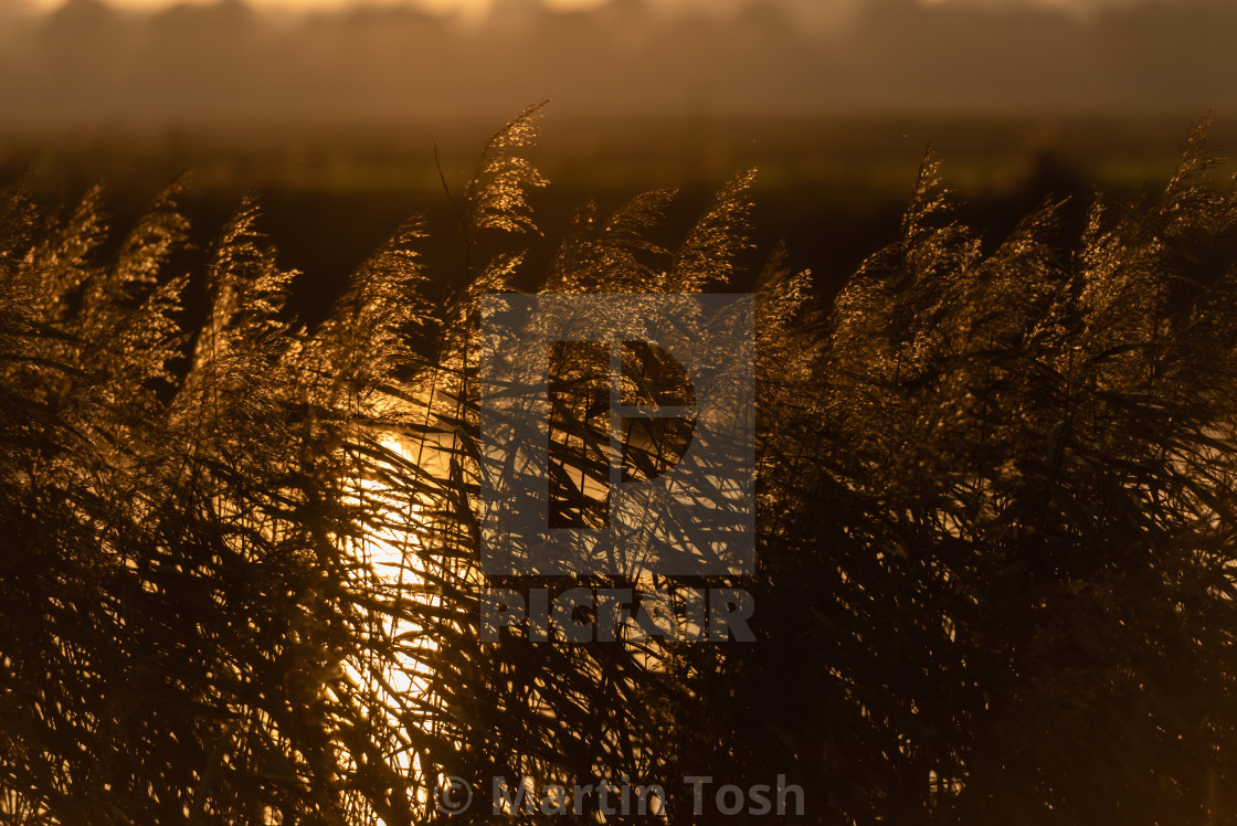 """Backlit reed seedheads on sunny evening."" stock image"