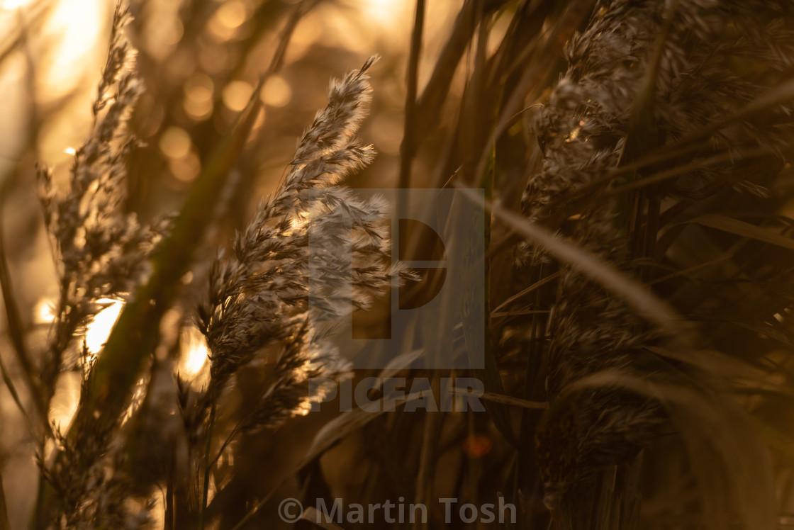"""Backlit reed seedheads closeup."" stock image"