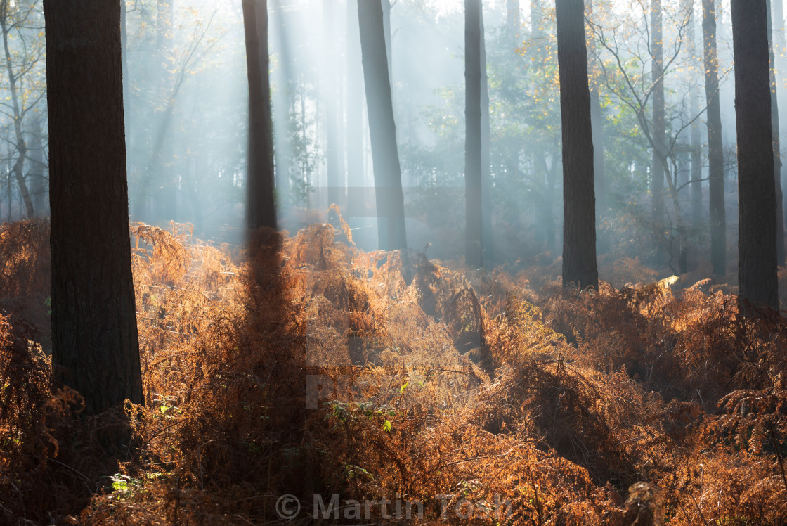 """Backlit pine woodlands with rusty bracken on misty morning ii."" stock image"