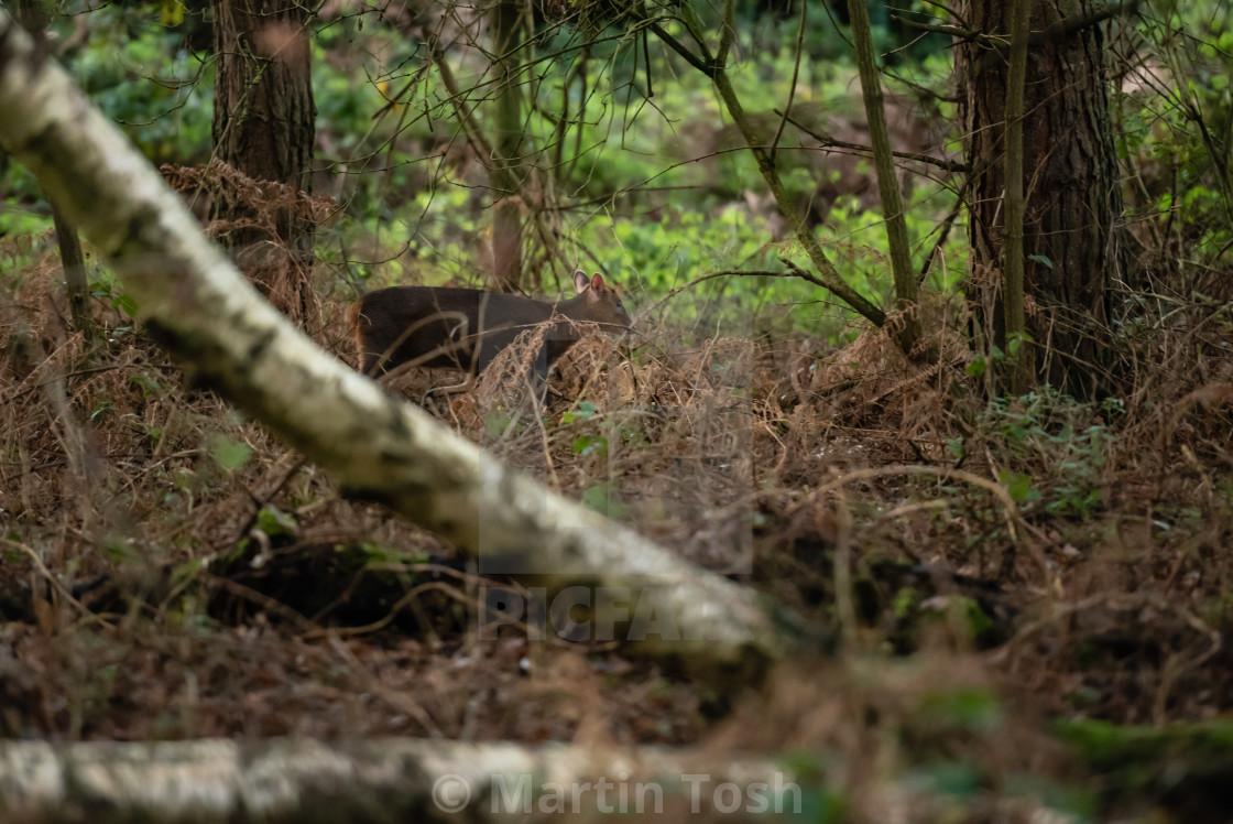 """Muntiacus. Muntjack deer in woodland."" stock image"
