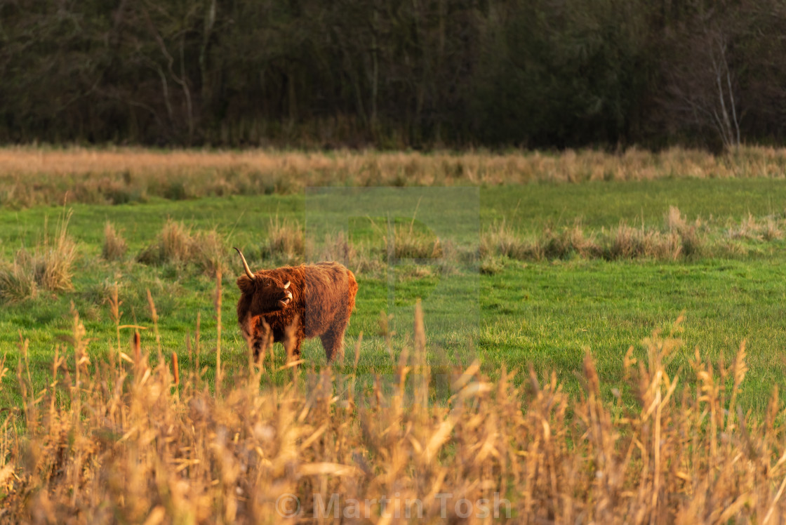 """Highland Cow in field i."" stock image"