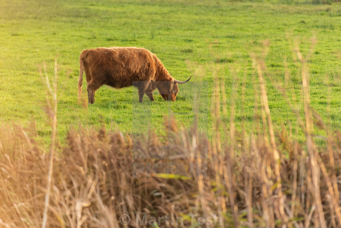 """""""Highland Cow in field ii."""" stock image"""