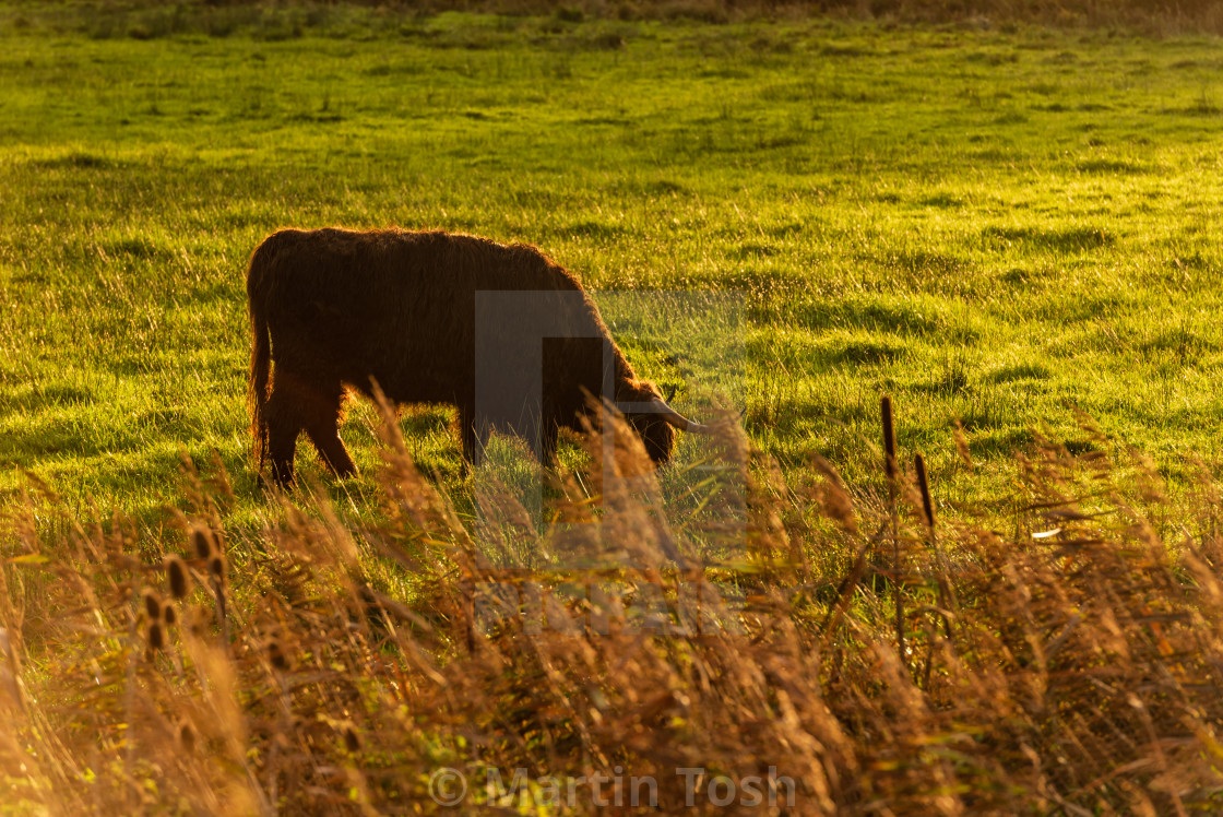 """""""Highland Cow in field iv."""" stock image"""