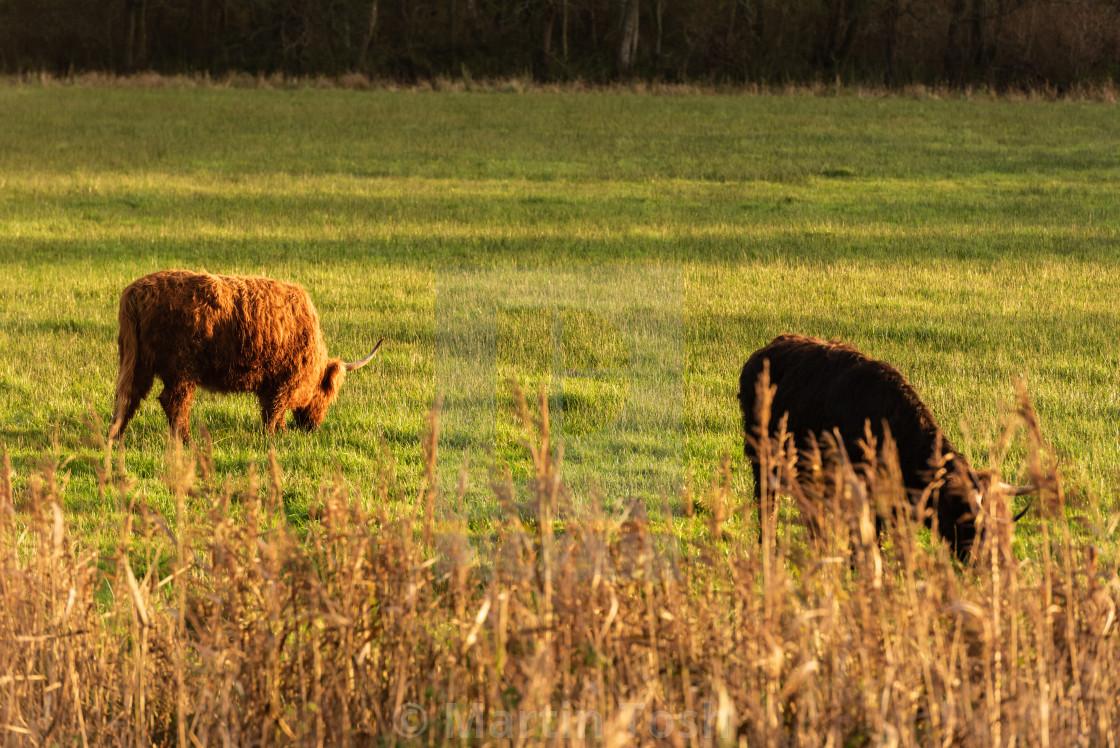 """Higland cattle in field i."" stock image"
