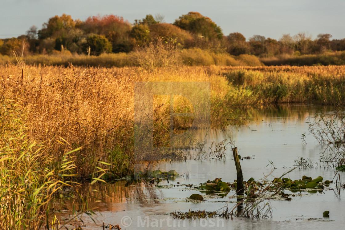"""Golden reeds on marshland waterway."" stock image"