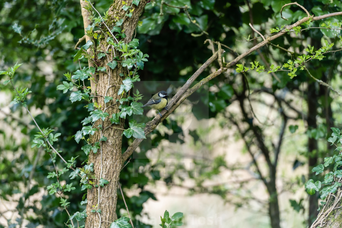 """""""Great Tit perched on twigs iii"""" stock image"""