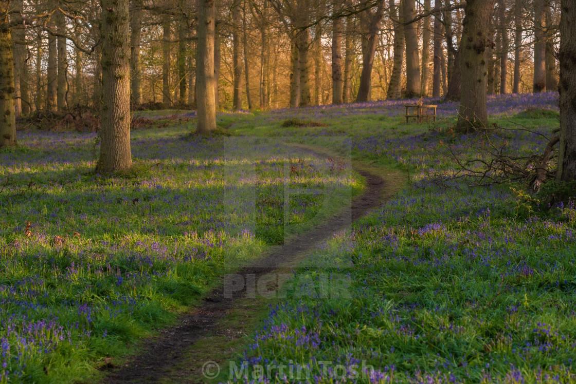 """Footpath through bluebell woodland"" stock image"