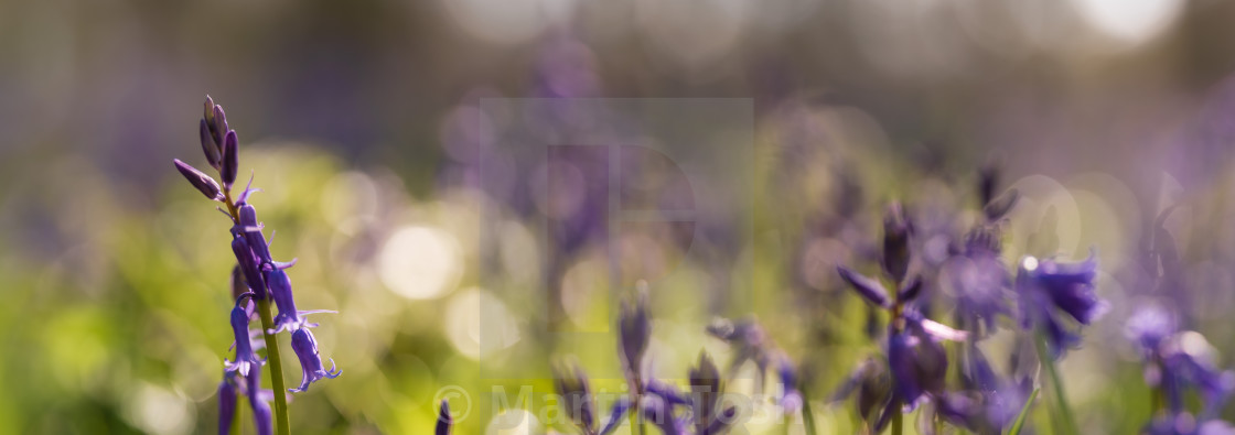 """Woodland bluebell study ix pano soft bokeh bg"" stock image"