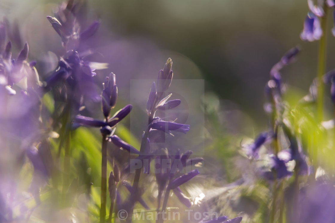 """Woodland bluebell study viii"" stock image"