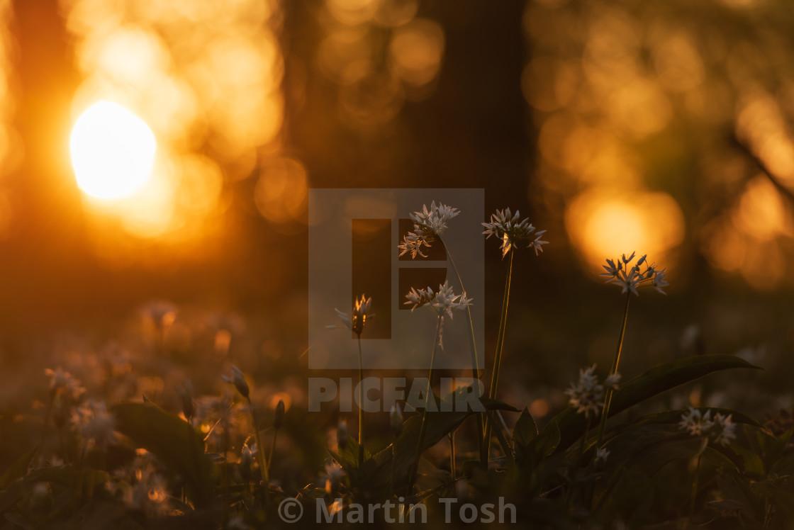 """""""Woodland sunrise and wild garlic"""" stock image"""