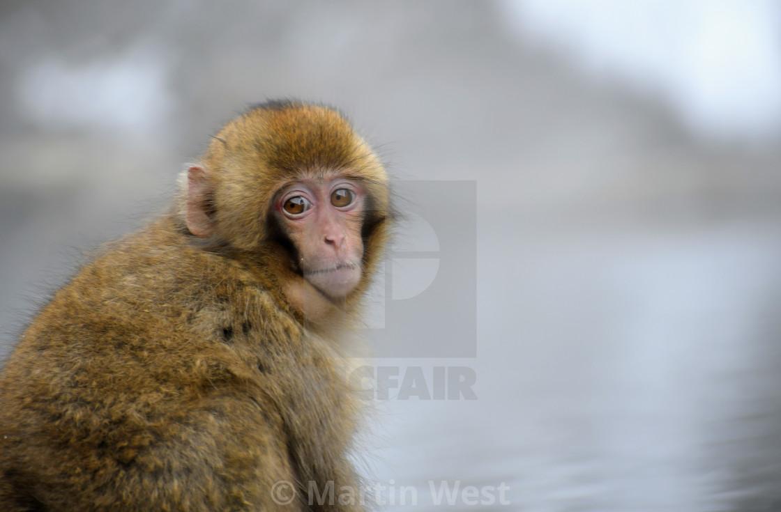 """Young snow monkey portrait"" stock image"