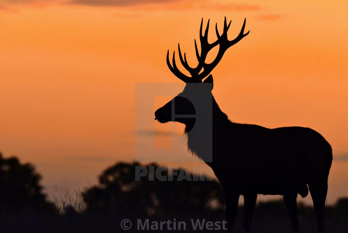 """Red deer in rutting season"" stock image"
