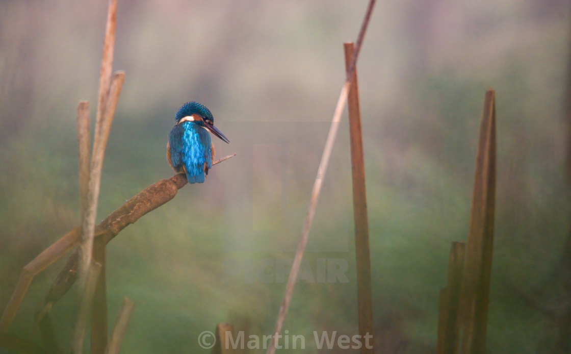 """Kingfisher on bullrush"" stock image"