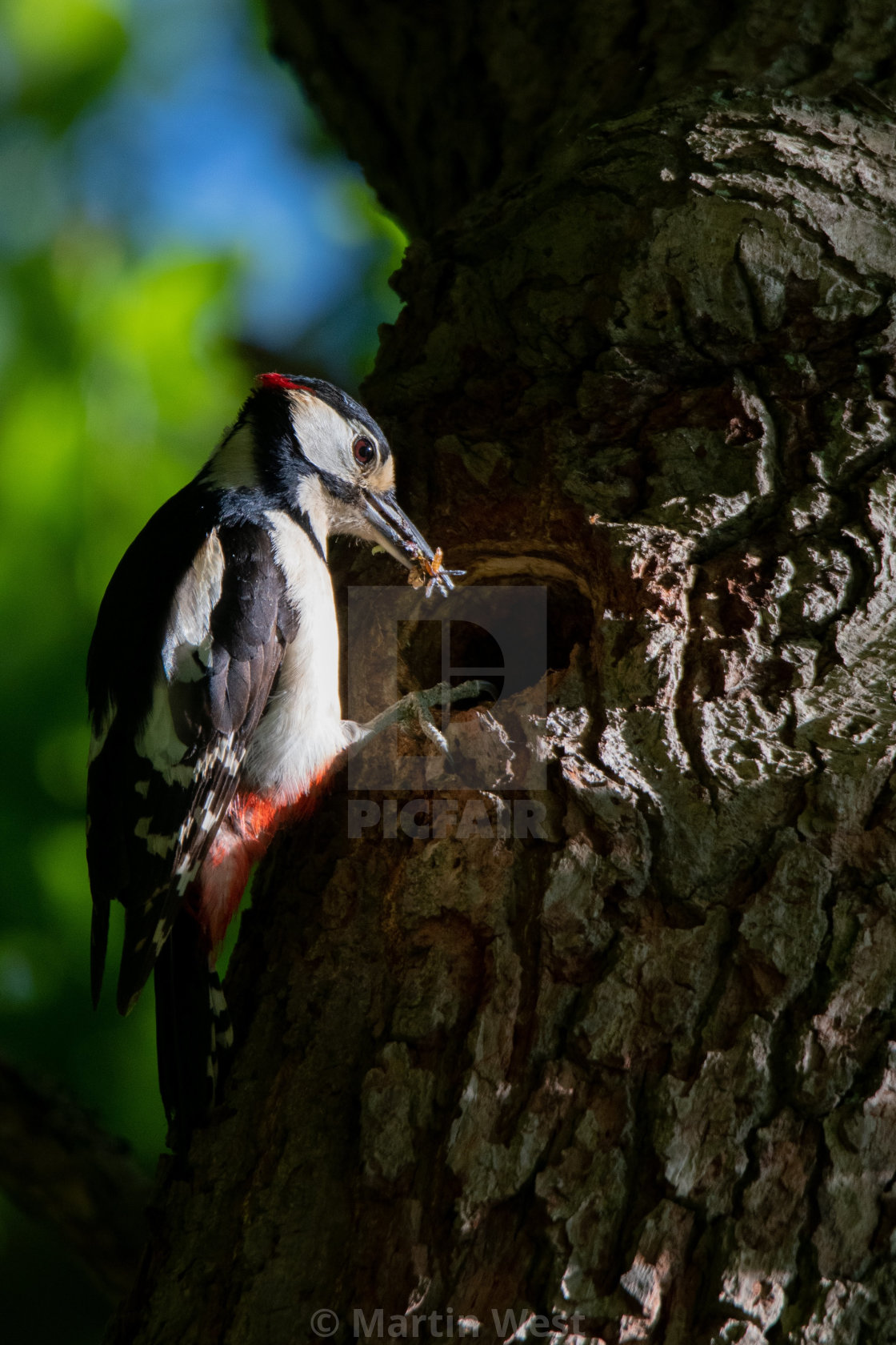 """""""Greater Spotted woodpecker with food"""" stock image"""
