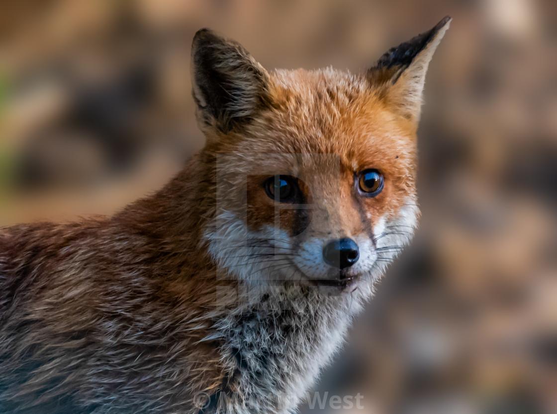 """Fox portrait"" stock image"
