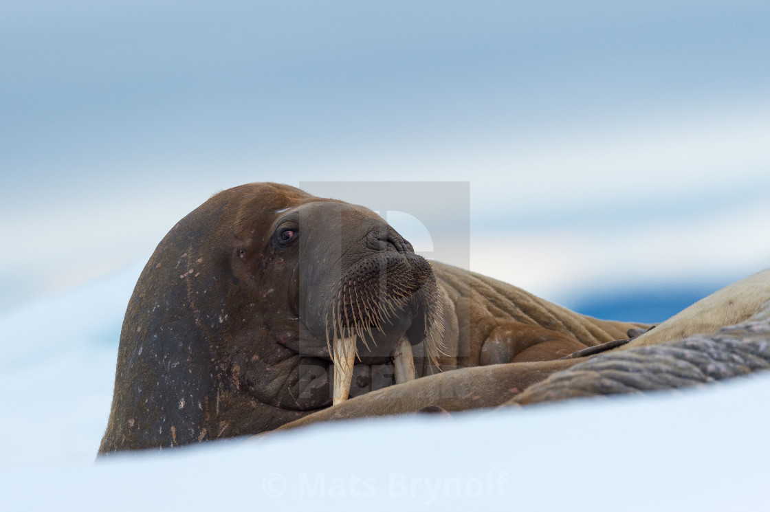 """Walrus resting in the arctic landscape"" stock image"