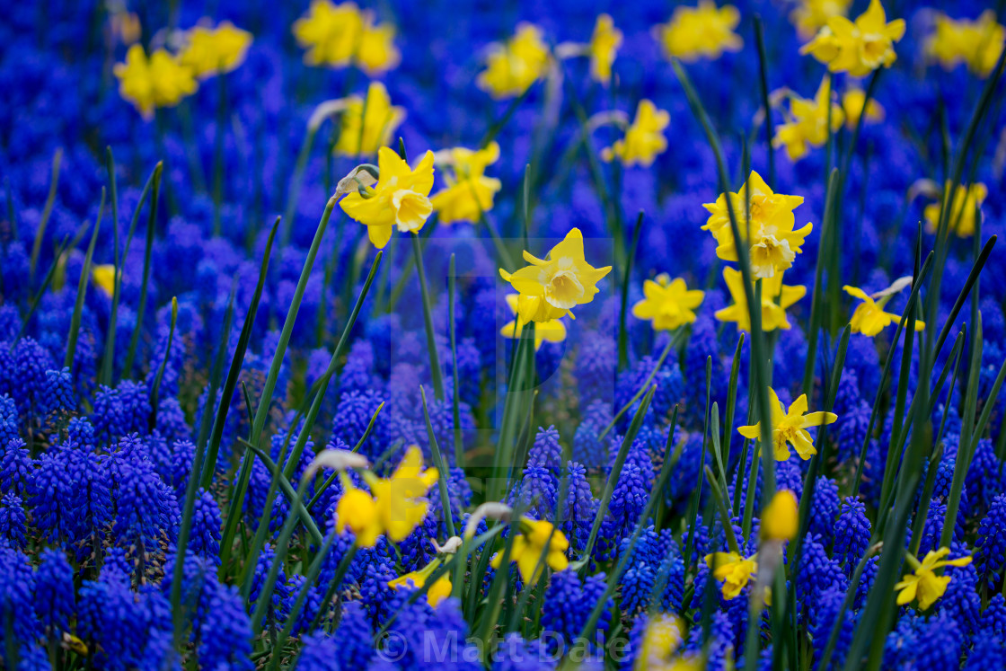 """""""Blue and Yellow Daffodil Patterns"""" stock image"""