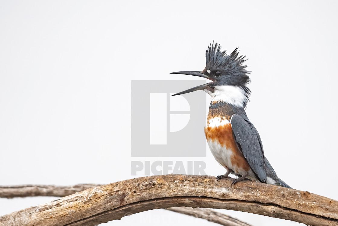 """Belted kingfisher, Megaceryle alcyon"" stock image"