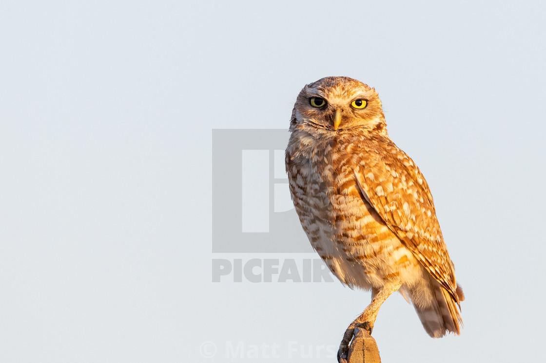 """Burrowing owl, Athene cunicularia"" stock image"
