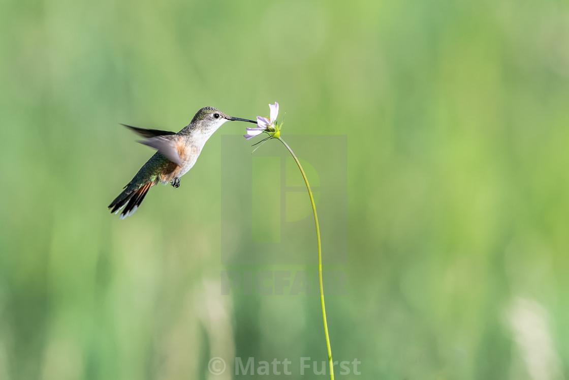 """Rufus Hummingbird, Selasphorus rufus"" stock image"