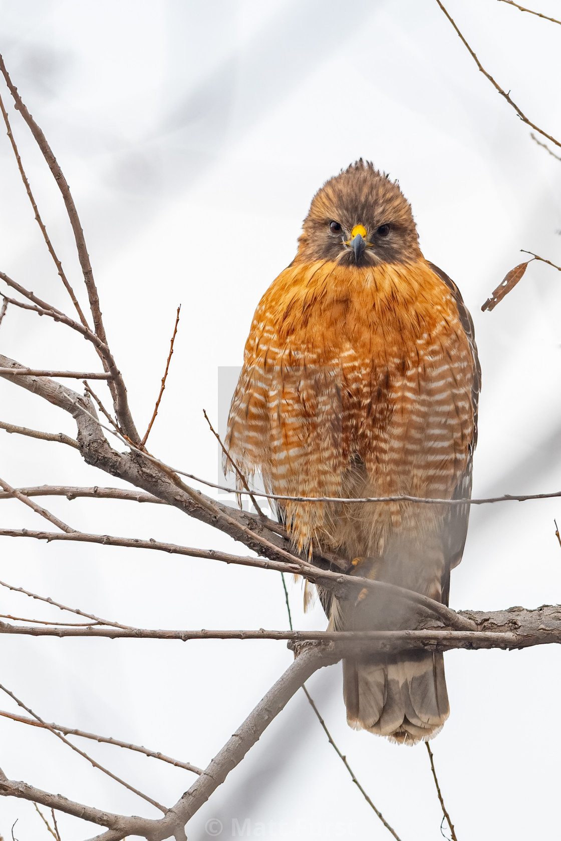 """""""Red Shouldered Hawk, Buteo lineatus"""" stock image"""