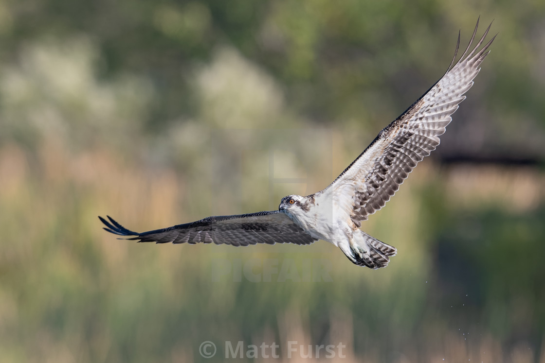"""Osprey, Pandion haliaetus"" stock image"