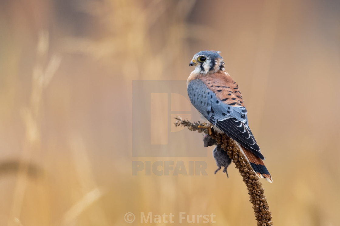"""American Kestral, Falco sparverius"" stock image"