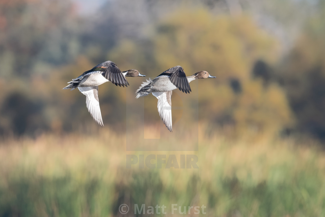 """Northern Pintail Duck, Anas acuta,"" stock image"