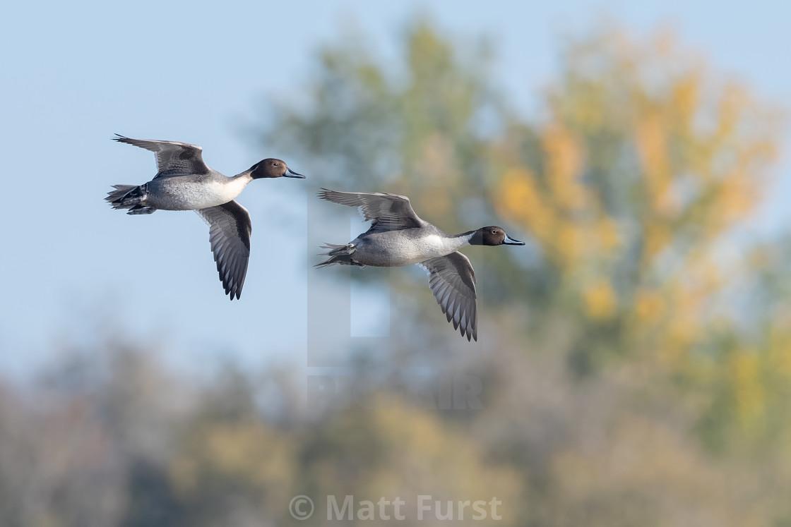 """Northern Pintail Duck, Anas acuta"" stock image"