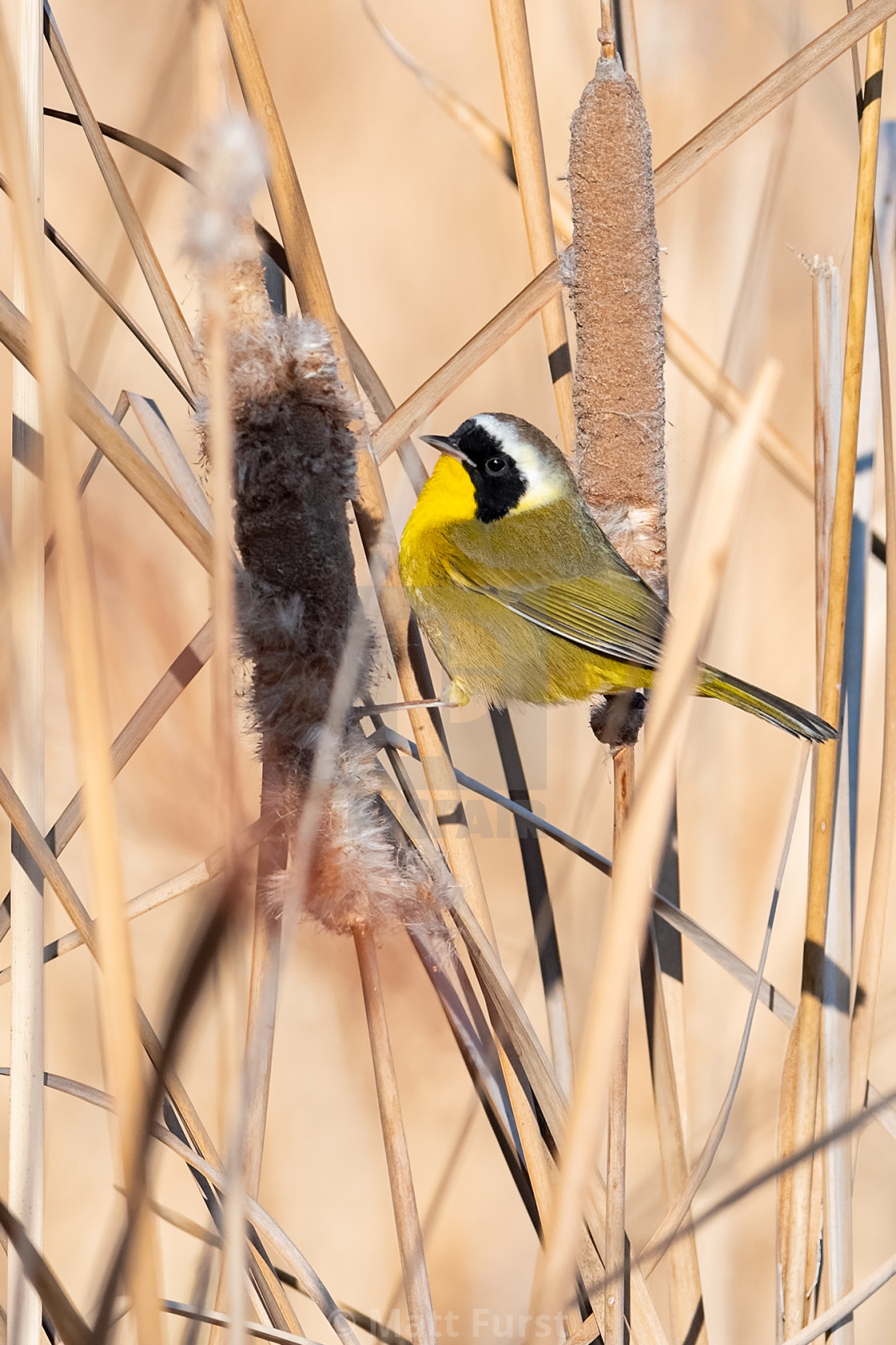 """Common Yellowthroat, Geothlypis trichas,"" stock image"