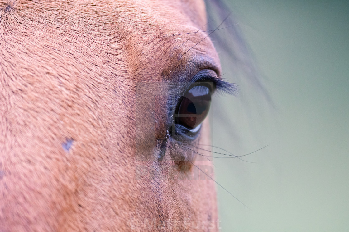 """The Horse Eye"" stock image"