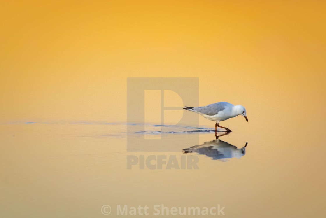 """""""Seagull Reflection in the sunrise"""" stock image"""