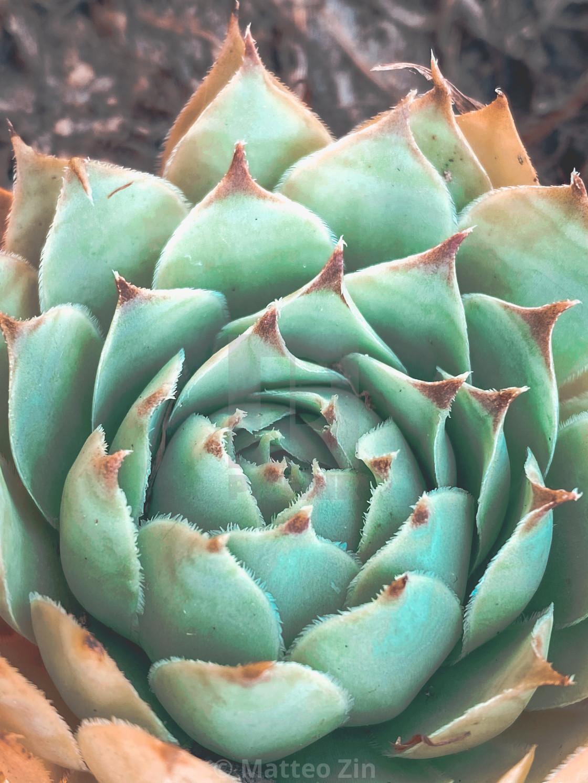 """""""Succulent closeup"""" stock image"""