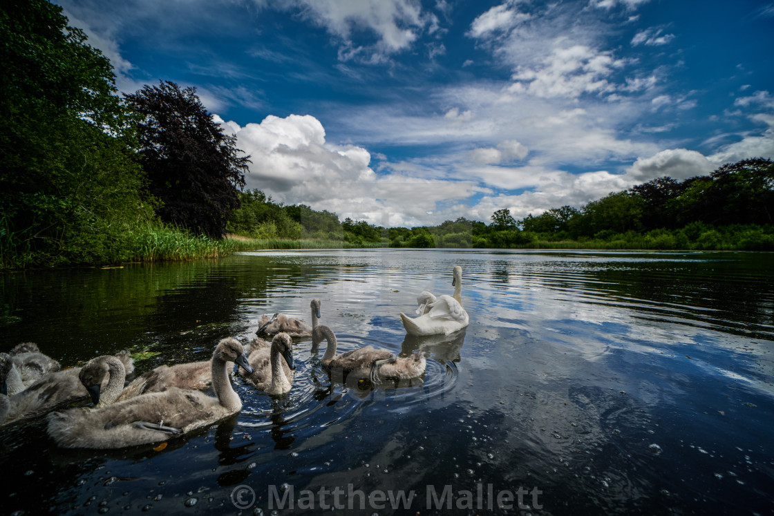 """Swans and Cygnets of Selbrigg"" stock image"