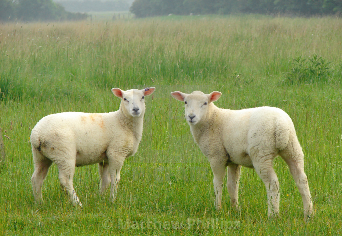 """Pair of Lambs posing symmetrically"" stock image"