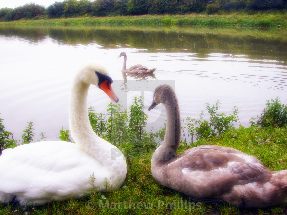 """Swan & Cygnets in soft focus - UK Wildlife Photography Collection"" stock image"