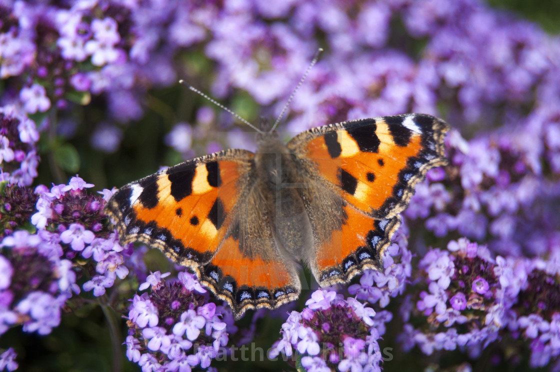 """Tortoiseshell Butterfly - British Wildlife"" stock image"
