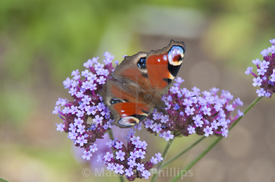 """Peacock Butterfly on purple garden flowers, UK Wildlife"" stock image"