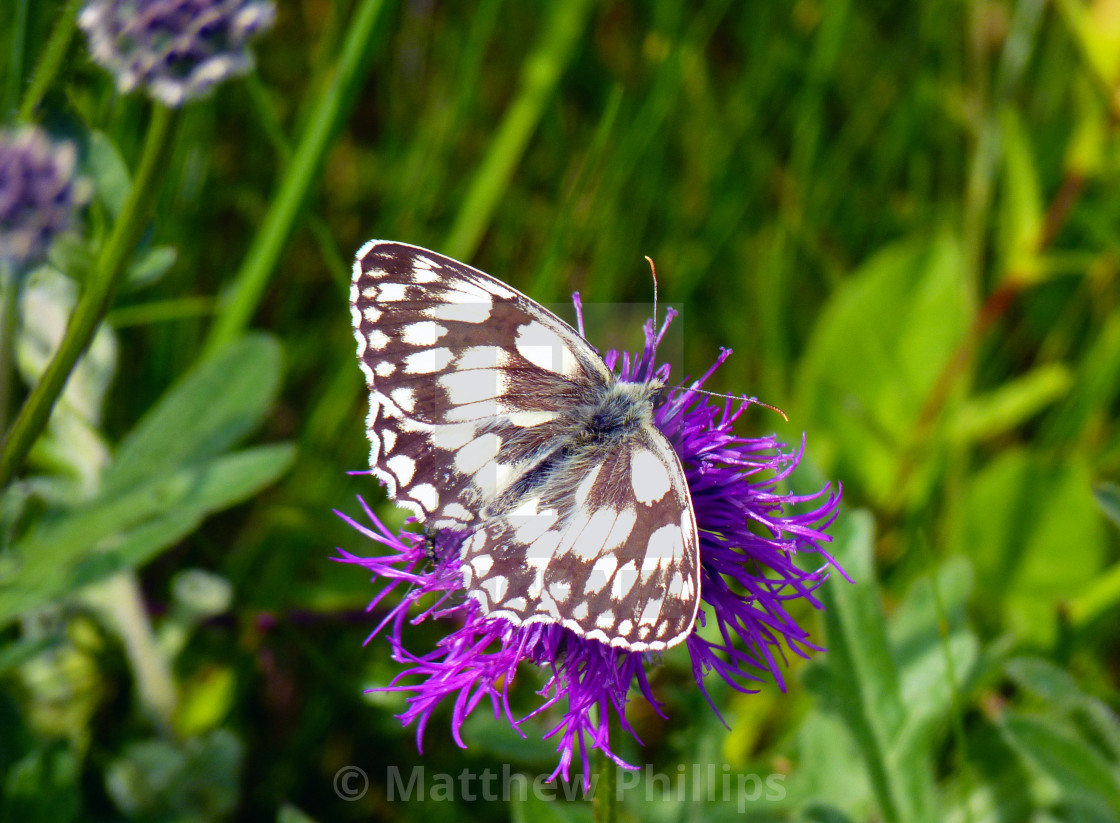 """Marbled White Butterfly - British Wildlife"" stock image"