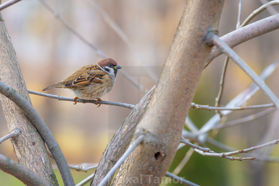 """""""Sparrow on the Branch"""" stock image"""
