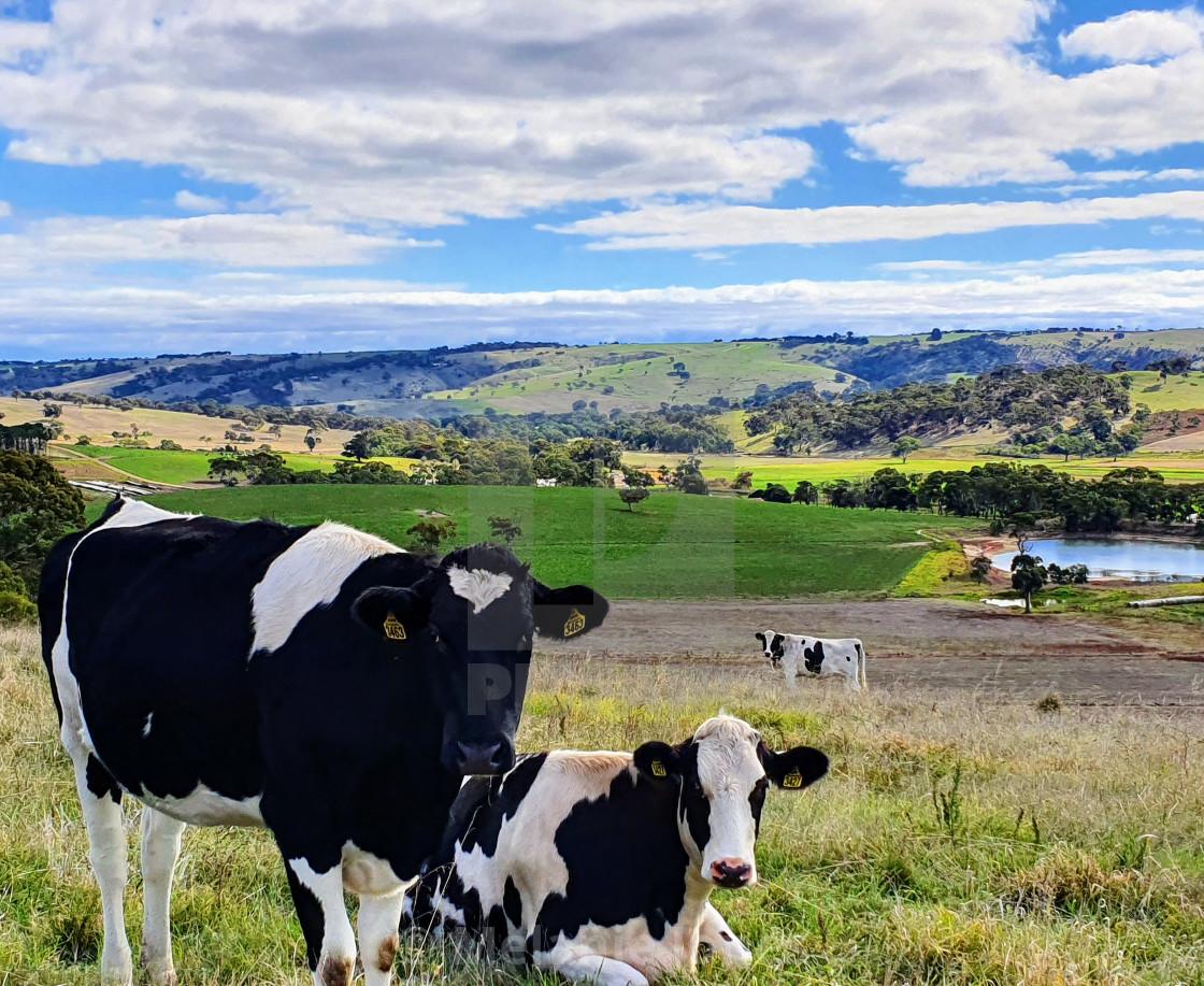 """""""Dairy cows Fleurieu Peninsula SA"""" stock image"""
