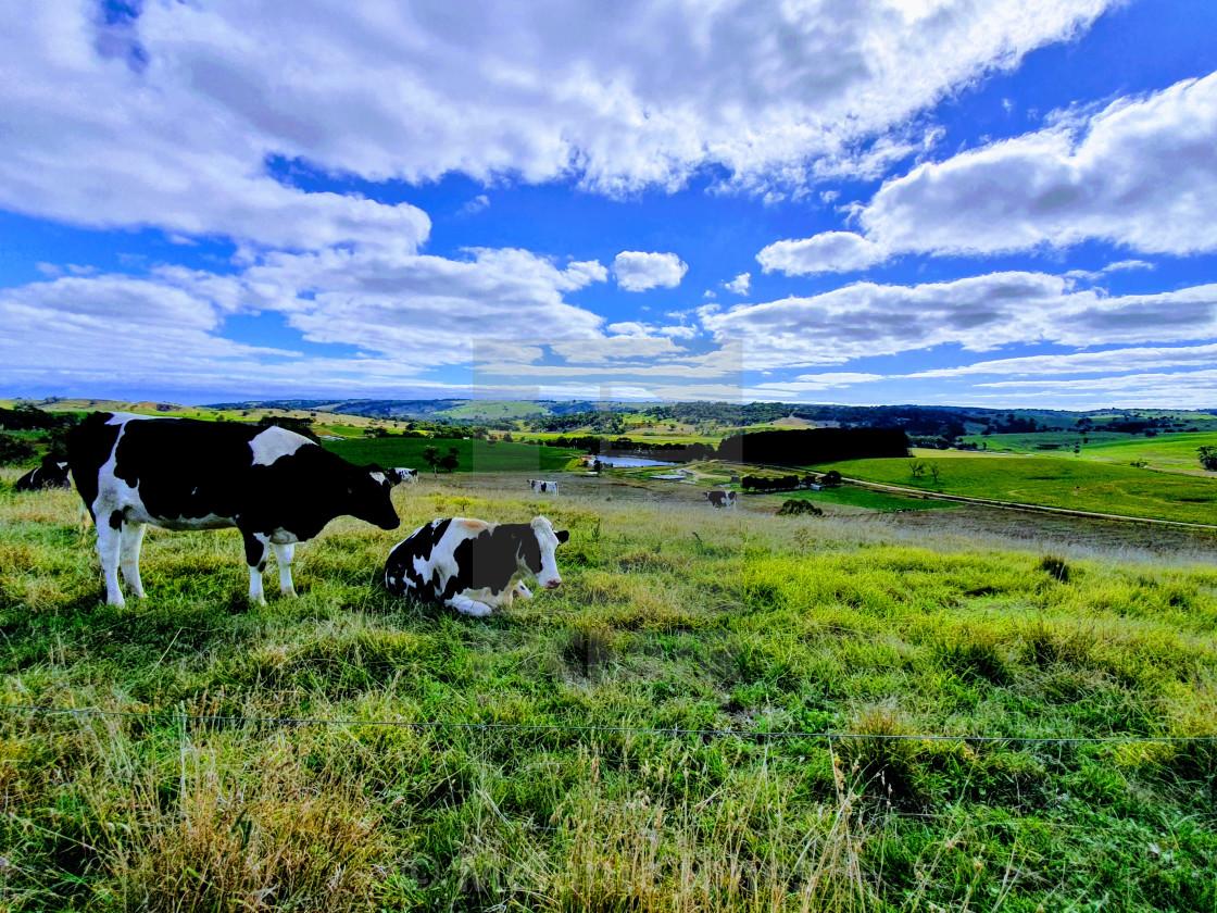 """Dairy cows Fleurieu Peninsula South Australia"" stock image"