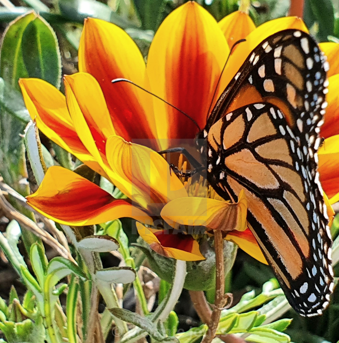 """""""Monarch butterfly Fleurieu Peninsula"""" stock image"""